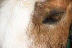 Karłowata końska pozycja relaksuje w stajence przy zwierzęcym gospodarstwem rolnym w Saraburi, Tajlandia obrazy royalty free