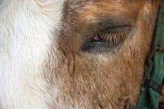 Karłowata końska pozycja relaksuje w stajence przy zwierzęcym gospodarstwem rolnym w Saraburi, Tajlandia fotografia stock