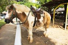Karłowata końska pozycja relaksuje w stajence przy zwierzęcym gospodarstwem rolnym w Saraburi, Tajlandia obraz stock
