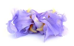 Karłowatego irysa kwiaty zdjęcie stock