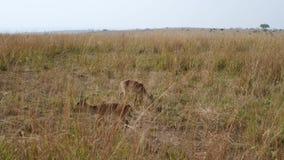 Karłowaty antylopy dik dik pasanie w wysokiej żółtej trawie Afrykańska sawanna zbiory wideo
