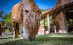 Karłowaty koń W ogródu gospodarstwie rolnym fotografia stock