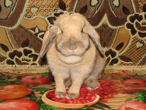 Karłowaty królik Lila Obraz Stock