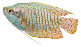 karłowaty rybi gourami zdjęcie stock