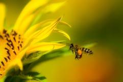 Karłowaty słonecznik Zdjęcia Royalty Free