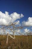 karłowaci cyprysów drzewa Obraz Royalty Free