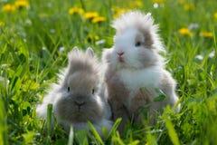 Karłowaci króliki Obrazy Royalty Free