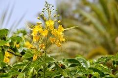 Karłowaci poinciana kwiaty zdjęcie stock
