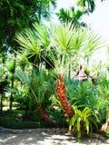 Karłowata daktylowa palma Obraz Royalty Free