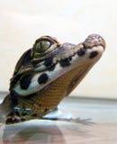 Karłowaty krokodyla dziecko Fotografia Royalty Free