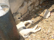 Karabash; Cangal ; Anatolian Shepherd puppy stock image