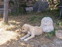 Karabash; Cangal; Cucciolo anatolico del pastore Fotografie Stock Libere da Diritti