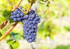 karaganda виноградины фермы 2006 пуков около сентября стоковое фото