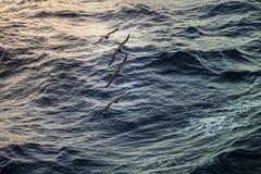 Karaibscy seagulls Fotografia Stock