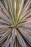 Karaibska agawy roślina Obraz Royalty Free