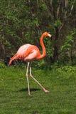 karaibska flamingo tańczącą czerwone. Zdjęcie Royalty Free