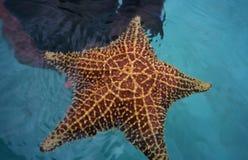 karaibska republiki dominikańskiej morza rozgwiazda Zdjęcie Stock