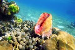 karaibski kolorowy rafowy denny seashell Zdjęcia Royalty Free