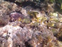 karaibski nurkowy morze tropikalne ryby żółta goryl ryba Obrazy Royalty Free