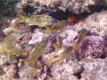 karaibski nurkowy morze tropikalne ryby Blennie labre czerwona warga i gorets Fotografia Royalty Free