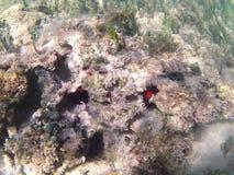 karaibski nurkowy morze tropikalne ryby Czerwony denny czesak Zdjęcia Royalty Free