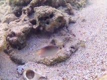 karaibski nurkowy morze tropikalne ryby Dwubarwna damsel ryba Zdjęcia Royalty Free