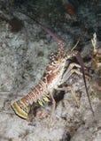 Karaibski Spiny homar Zdjęcie Royalty Free