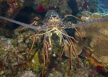 Karaibski Spiny homara zbliżenie Fotografia Stock