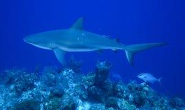 Karaiby rafy rekin Zdjęcia Stock