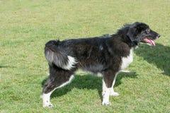 Karakachan狗画象 保加利亚牧羊犬在公园 库存照片