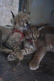 Karakala i geparda kot Fotografia Royalty Free