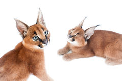 Karakali potomstw koty Obrazy Stock