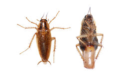 karakanu insekt obraz stock