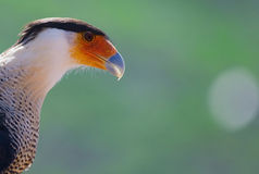 Karakara bird Stock Photography