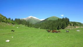 Karakol Glen Defile. Snow capped mountains horses and forest with blue sky background stock footage