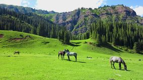 Karakol Glen Defile. Snow capped mountains horses and forest with blue sky background stock video