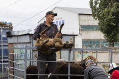 Karakol, Kyrgystan, il 13 agosto 2018: Mercato animale settimanale di domenica in Karakol fotografie stock