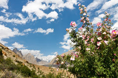 Karakorum Flora. Along the Braldu River, Northern Pakistan Royalty Free Stock Photography