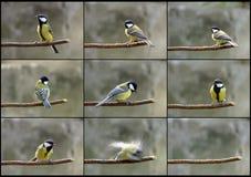 Karakter van chickadee Stock Foto's
