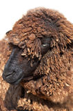 Karakul sheep Royalty Free Stock Image