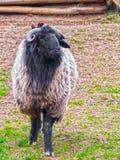 Karakul sheep Stock Photography