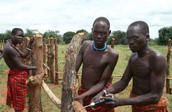 Karamojong cattle herders constructing a fence. royalty free stock images