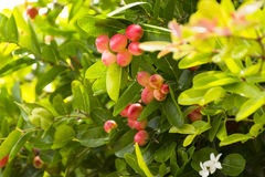 Karanda树或Carunda或者基督` s刺果子健康和草本的 放大 17 图库摄影