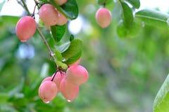 Karanda ή Carunda, φρούτα ή χορτάρια στο δέντρο με την πτώση βροχής Στοκ Εικόνες