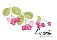 Karanda or Caranda .Hand drawn watercolor painting on white background.Vector illustration Royalty Free Stock Photo