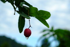 Karanda or Carunda, fruit or herbs on tree with rain drop Stock Photos