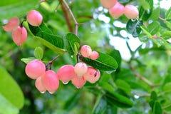 Karanda or Carunda, fruit or herbs on tree with rain drop Stock Photo