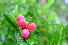 Karanda or Carunda, fruit or herbs Royalty Free Stock Image