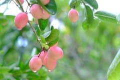 Karanda of Carunda, fruit of kruiden op boom met regendaling stock foto's