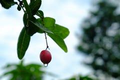 Karanda of Carunda, fruit of kruiden op boom met regendaling Royalty-vrije Stock Afbeelding